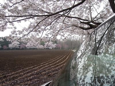2017-sakura-acty.jpg